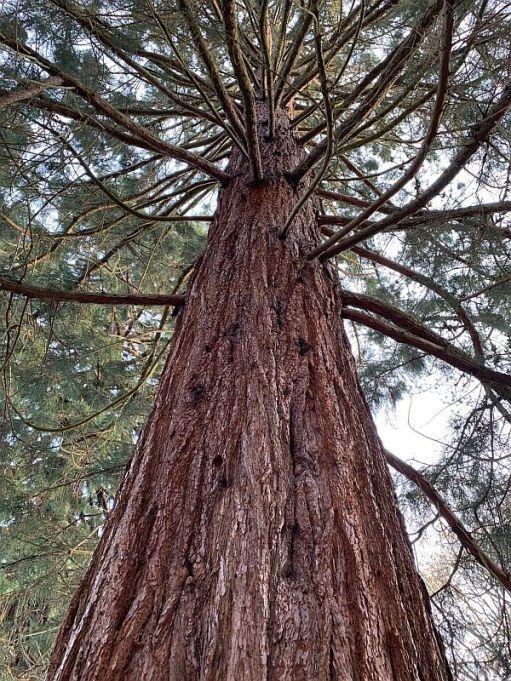Eucalyptus Tree.