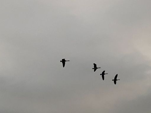 Four Canada Geese flying overhead.