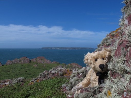 Bertie sat on the cliff on Skokholm looking towards us, with Skomer in the distance behind.
