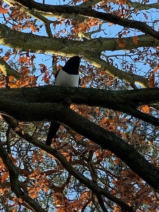 A Magpie in the tree branches, with golden brown autumnal leaves behind.