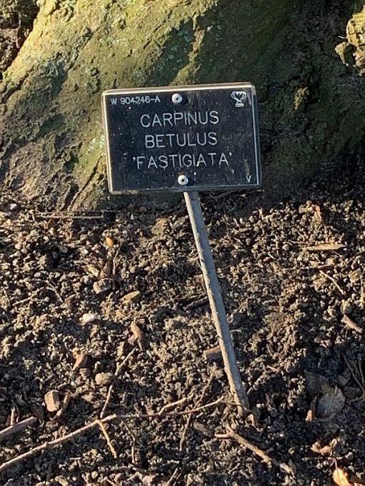 Nameplate for the Carpinus Betulus Fastigiata.