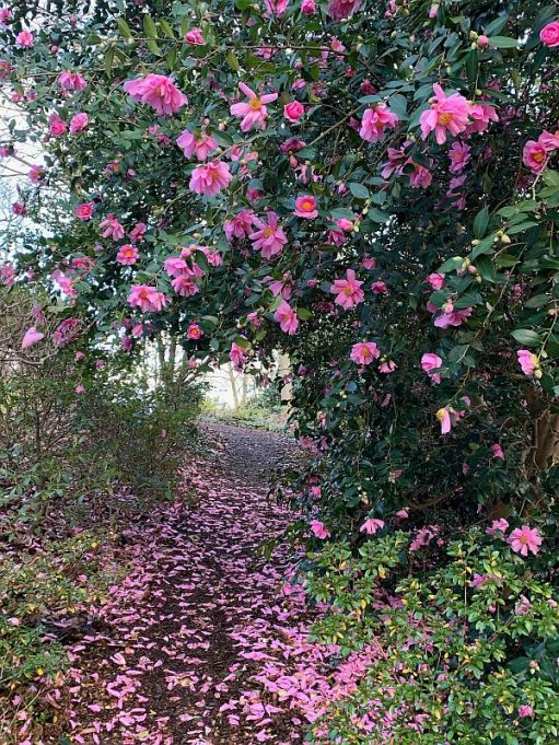 The delicate pink flowers of an early Camellia.