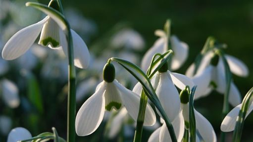 Snowdrops in the wonderful Colesbourne Park near Cirencester