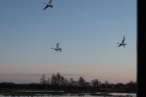 Bewick Swans in flight seen from the hide.