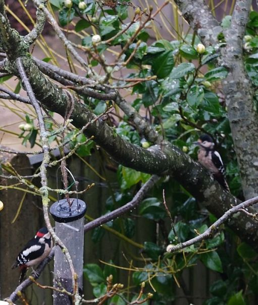 Two Great Spotted Woodpeckers. Male (left), female (right).