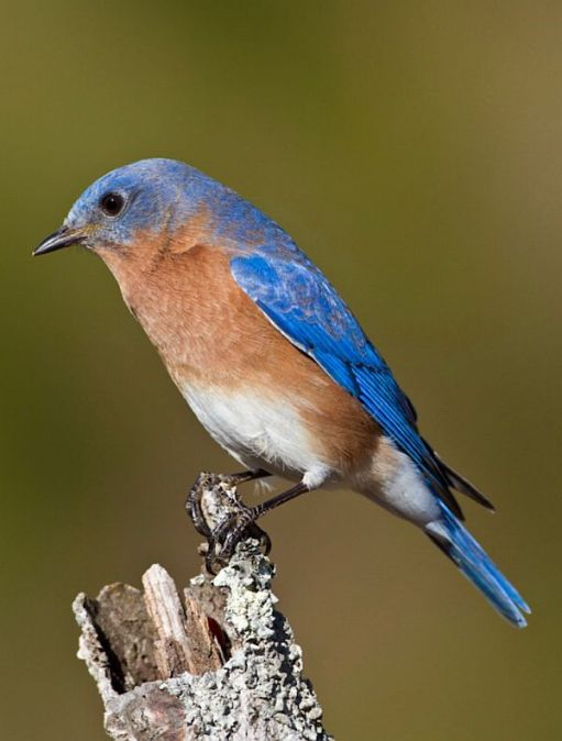 Side profile of a Bluebird on top of a branch.