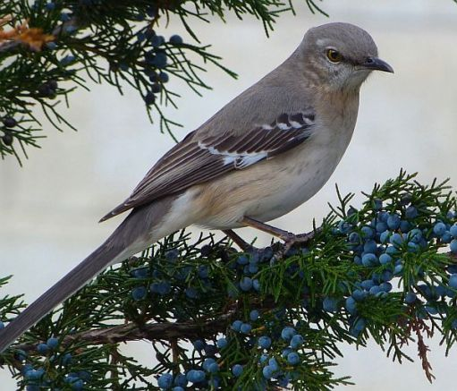 Mockingbird.