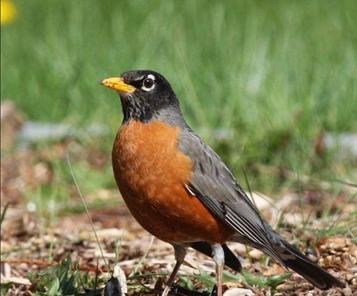 American Robin.