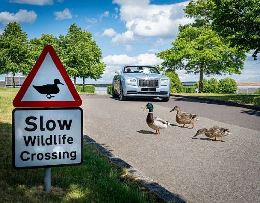 A Rolls-Royce car stopped to let some ducks cross the road in the Wildlife Garden.