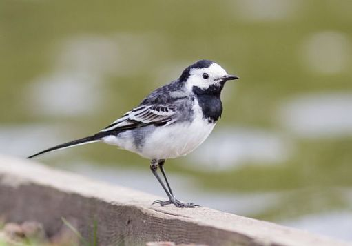 A Pied Wagtail.