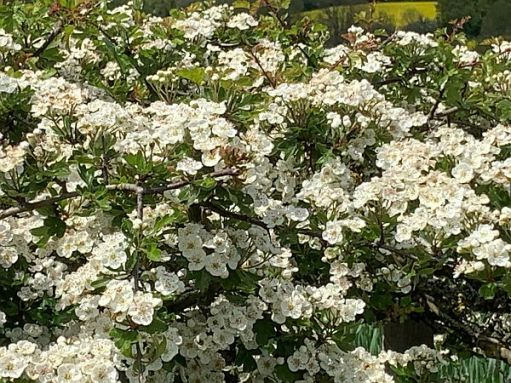 White flowering hedgerow.