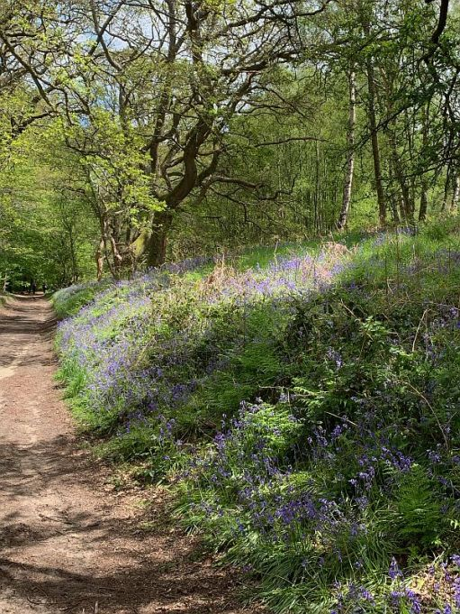 Track edged by Bluebells and Ferns.