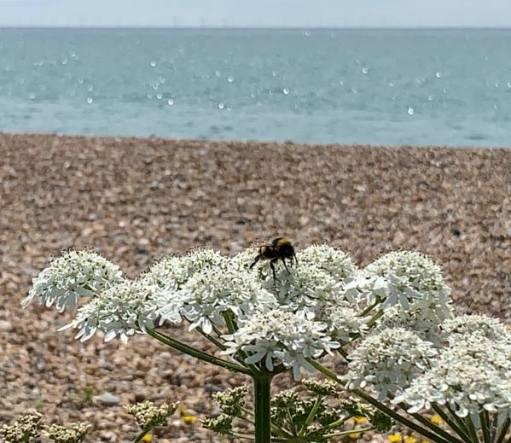 Bee on Wildflower, East Preston Beach