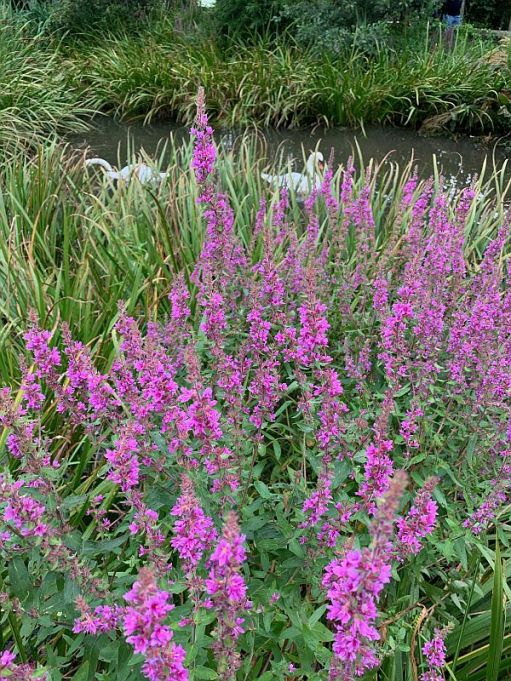 Purple wetland flowers.