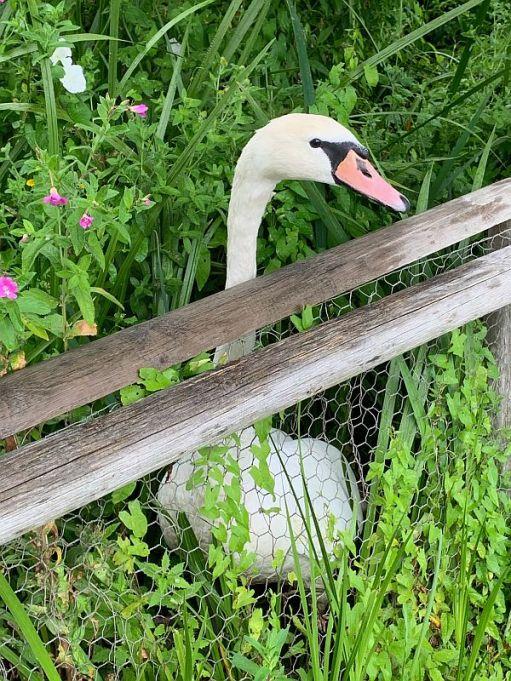 Swan sitting behind a fence.