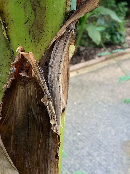 Caterpiller camouflaged on a bit of dead leaf.
