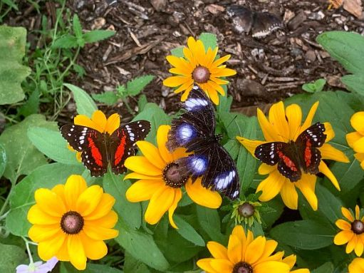 Rudbeckias with three Butterflies on them.