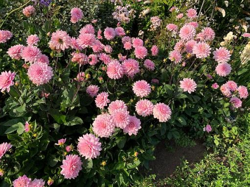 Dahlias, Wisley Gardens.