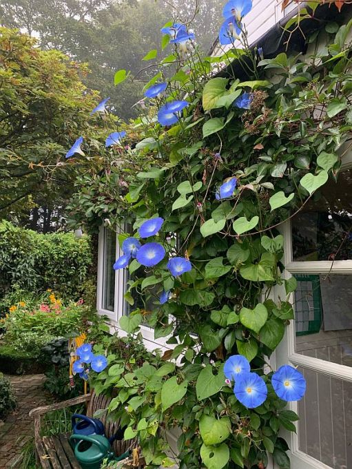 Profussion of Morning Glory flowers.