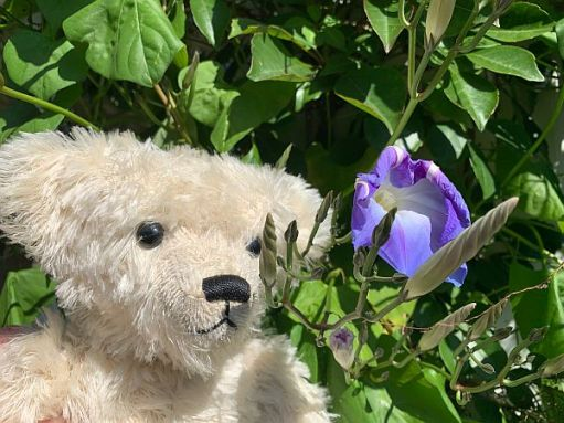 Trevor looking at a dying Morning Glory flower.