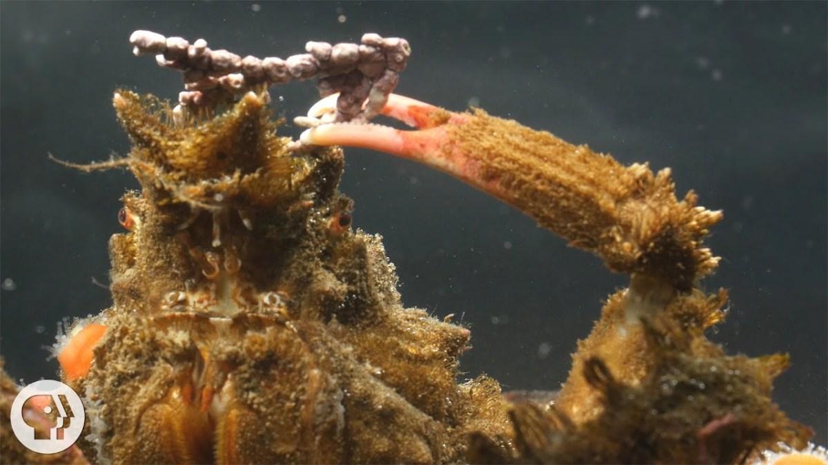 Nature you so stylish: Es gibt Krabben, die sich mit Zeug dekorieren