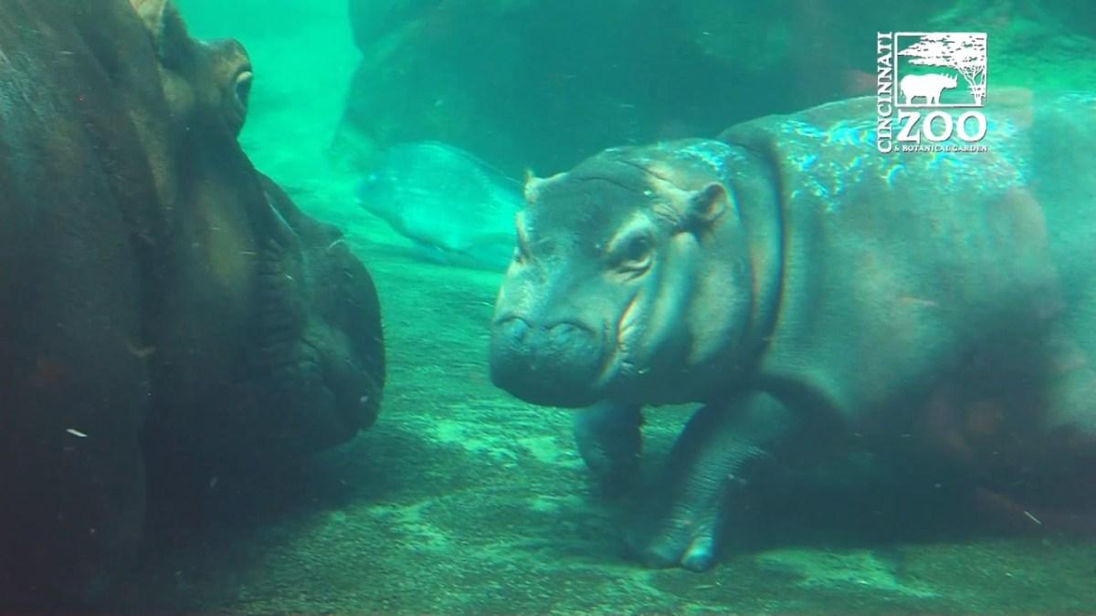 Das Baby-Nilpferd Fiona geht mit seiner Mutter schwimmen