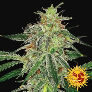 Buy Blue Mammoth Auto Feminized Seeds (Barney's Farm) here