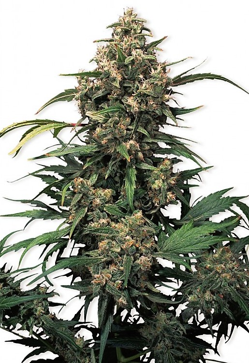 Buy Strawberry Cough Feminized Seeds here