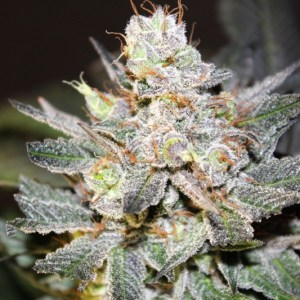 Buy Blue AK-47 Seeds (Jordan of the Islands) here