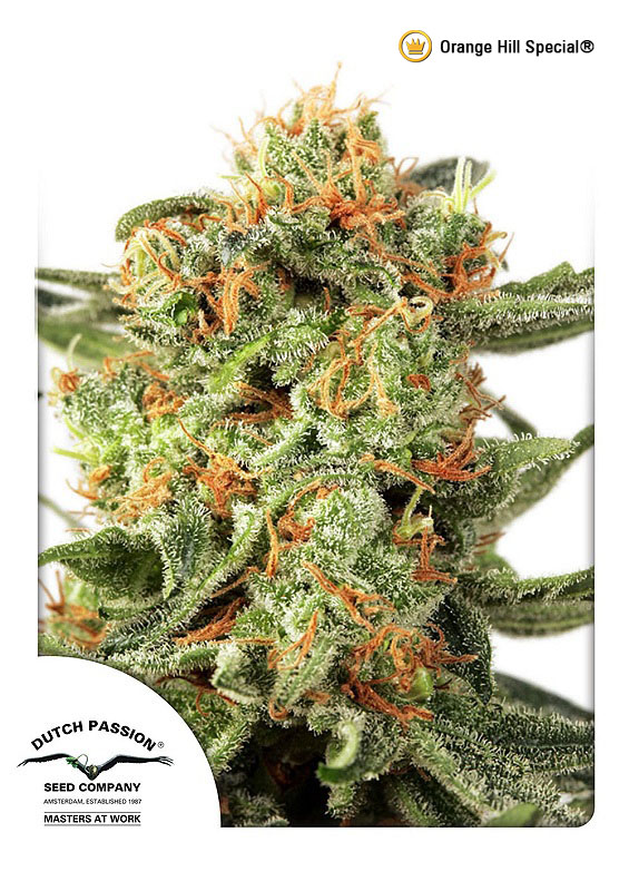 Buy Orange Hill Special Feminized Seeds (Dutch Passion) here