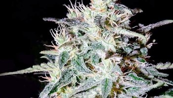 Amnesia Lemon Feminized Seeds - Mind Shatter Online Dispensary