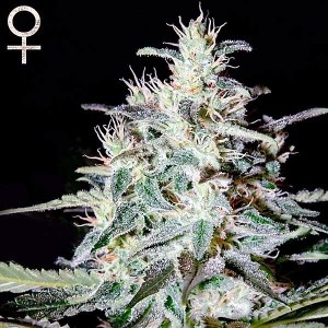 Buy White Lemon Feminized Seeds (Strain Hunters) here