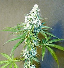 Buy seeds for the strain Sweet C99 here