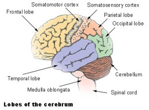 Illustration of Cerebrum Lobes
