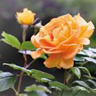 Mostra delle Rose e Piante Mediterranee