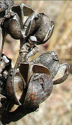 Agave parviflora seedpods