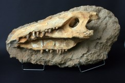 fosil glave krokodila