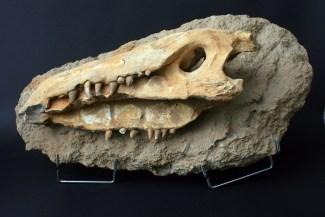 fosil_krokodila (1)