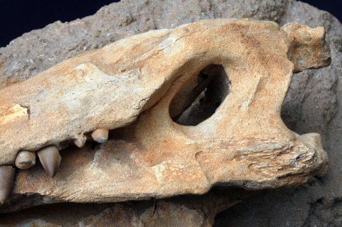 fosil_krokodila (5)