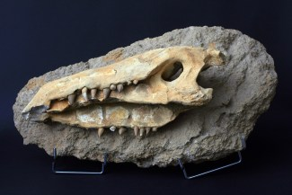 fosil_krokodila