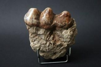 fosilizirani zub
