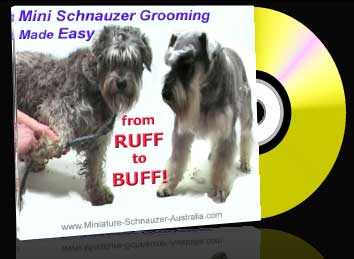 Mini Schnauzer Grooming Tips For Pets Miniature