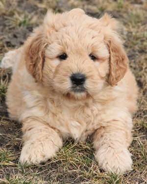 F1 Mini Goldendoodle Puppy In Light Golden Color Example