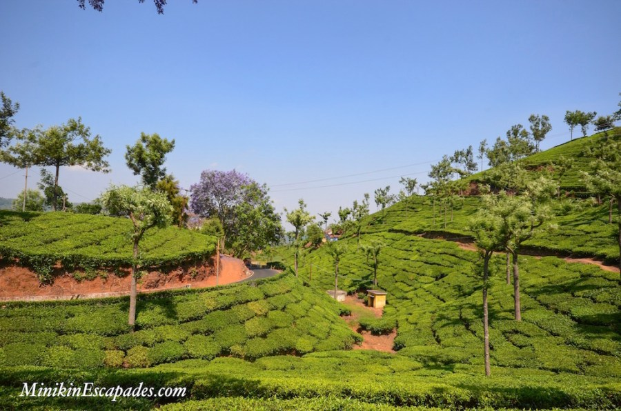 Tea estates in Ooty and conoor