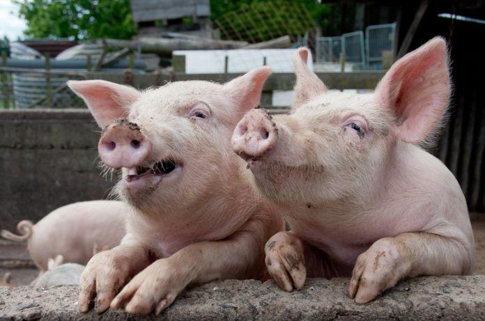 Картинки по запросу свиньи