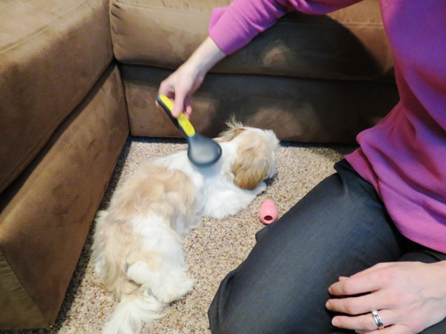 Buddy getting brushed