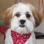 Buddy our Teddy Bear Puppy