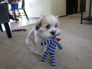 Teddy Bear Puppy and his Stuffed Monkey