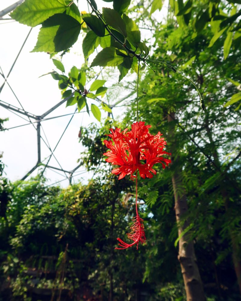 Cornwall itinerary - Eden Project pink flower 6 CREDIT Minka Guides