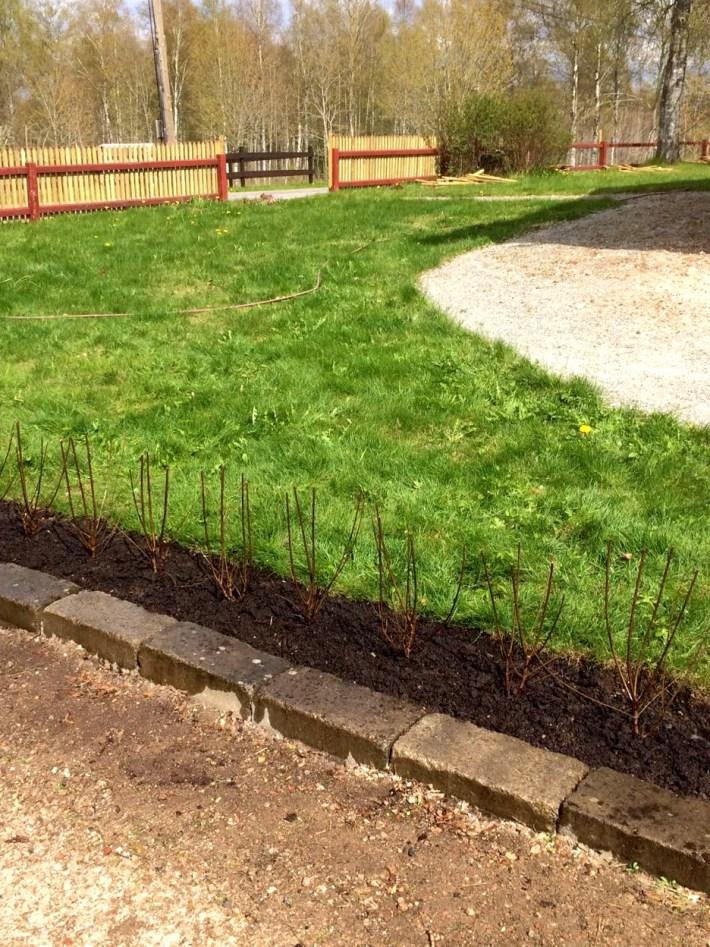 trädgårdens ramar - ligusterhäck